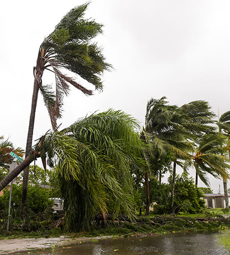 damaged palm trees